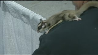 Sugar Gliders being sold on Big E grounds during RV show