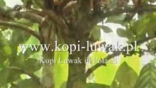 Cyweta zjadająca owoce kawowca. Kopi Luwak www.animalcoffee.pl