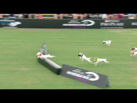 Thumbnail: Jack Russell Run Competition - 2016 Purina® Pro Plan® Incredible Dog Challenge® Western Regionals