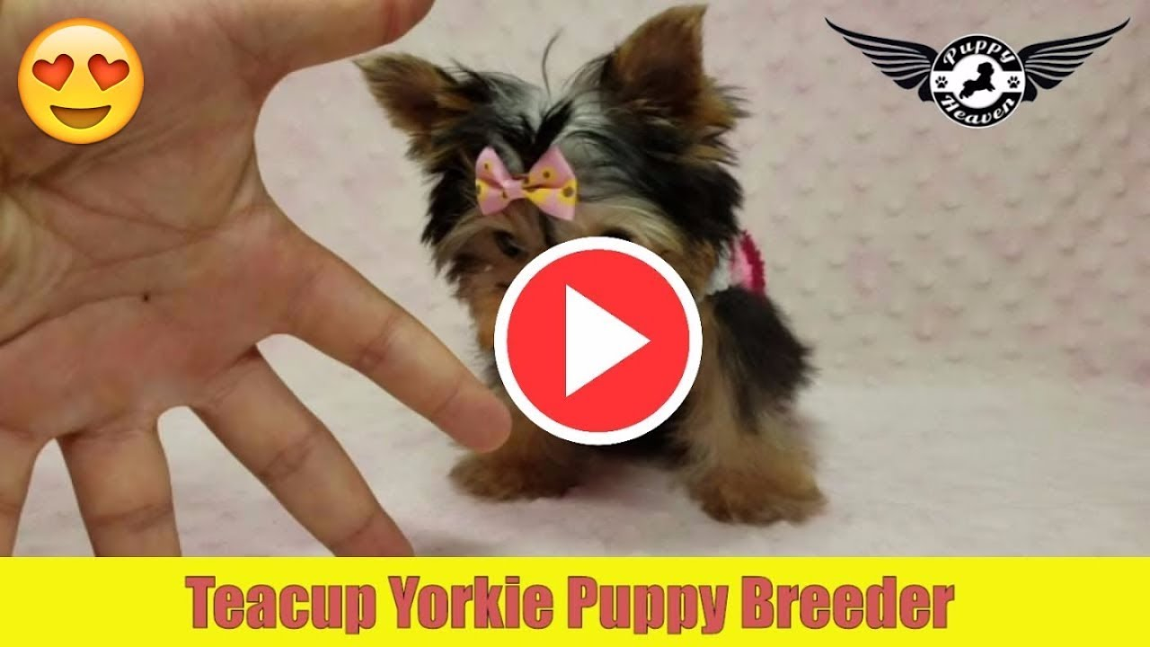 Teacup Yorkie Puppy Breeder By Puppyheavencom Youtube