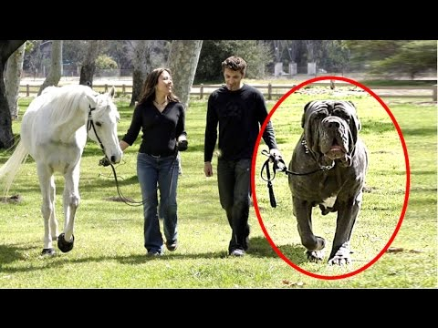 5 World's Largest Dogs That Actually Exist