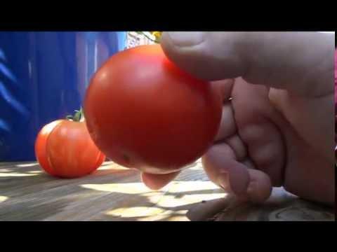 ➯ Box Car Willie - Tomato #1 AMERICAS CHOICE AWARD