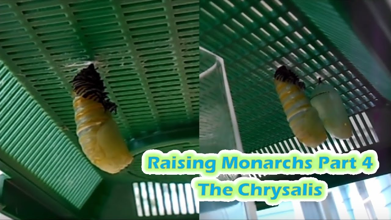 raising monarchs part 4 the chrysalis how to care for monarch