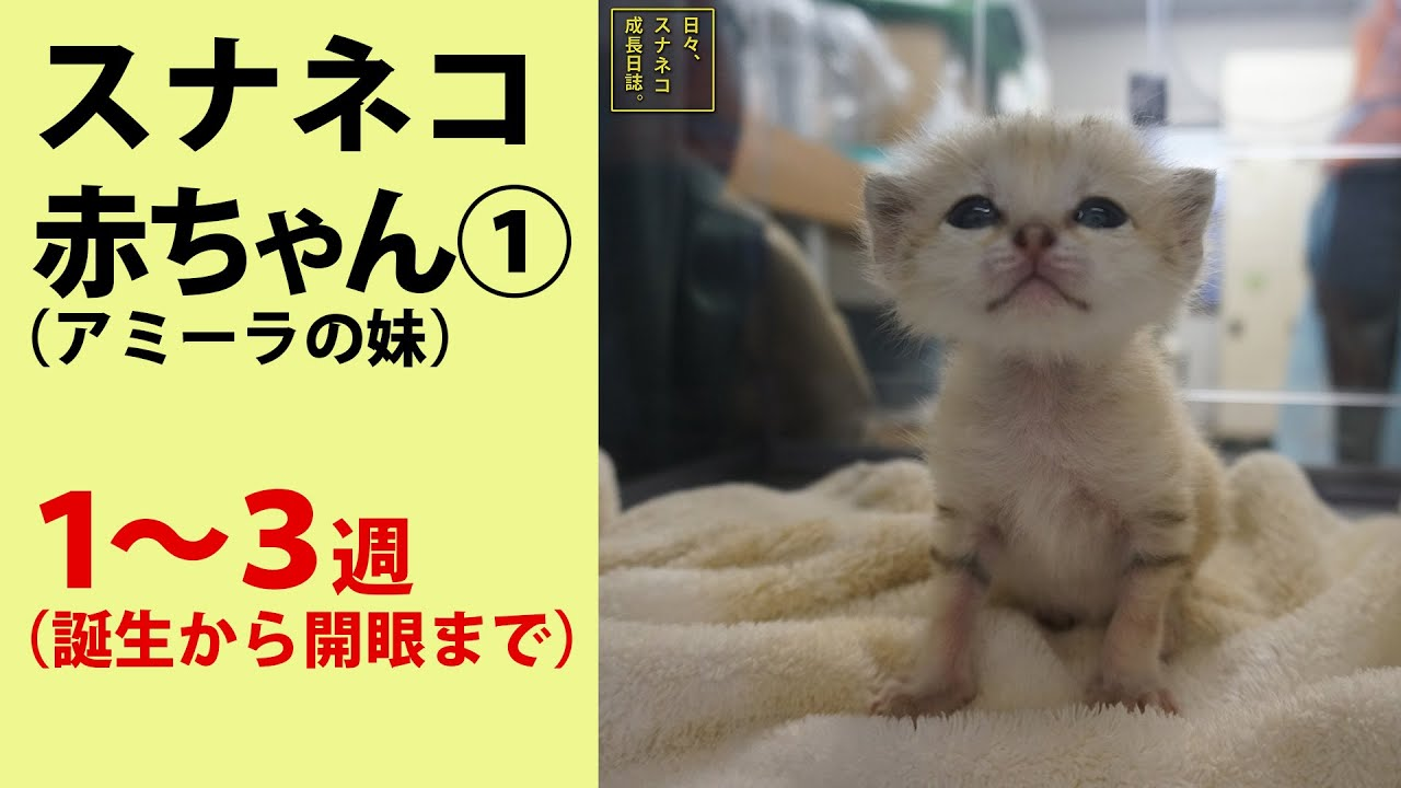 """【日々、スナネコ成長日誌。2】① 生後1〜3週 """"Growth Diary of Sand cat's Baby season 2"""" vol. 1"""