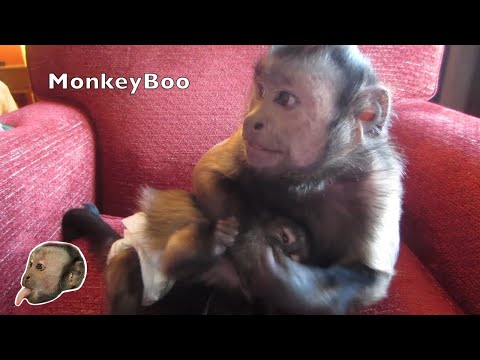 Capuchin Baby and Capuchin Playing (Cute)