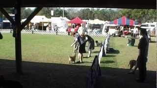 Zabby 1-14-2013 Florida Gulf Coast Dog Show