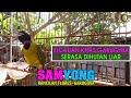Kicau Khas Samyong Ntt Burung  Suara Di Hutan Liar Part   Mp3 - Mp4 Download