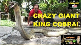 GIANT King Cobra!! - Worlds Largest Snakes - Awesome Animals TV - Corey Wild