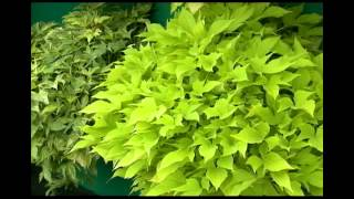 Proven Winners® Gardener Channel: Proven Winners® Sweet Caroline Light Green Potato Vine