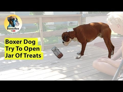 Boxer Dog Try To Open Jar Of Treats
