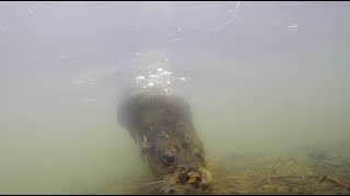 Wild underwater otters on the river in the UK