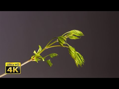 Time-lapse of Leaf Bud Growing with opening leaves buds Isolated With Black Background