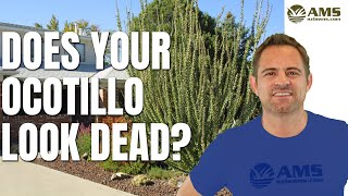 Does Your Ocotillo Look Dead?