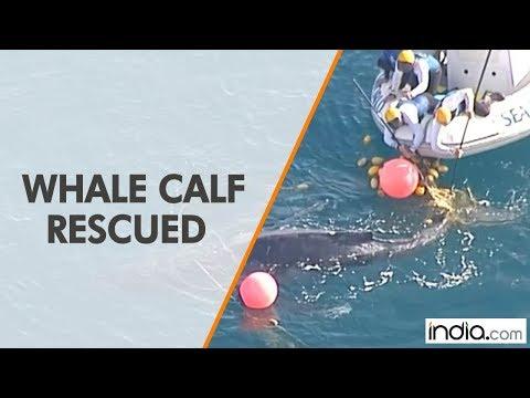 Rescatan a una cría de ballena atrapada en una red contra tiburones