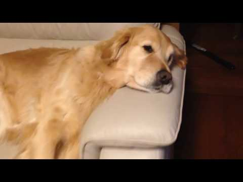 The golden retriever Alia is sleeping! very cute!