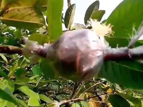 Kỹ thuật chiết cành ổi Đài Loan trên cây