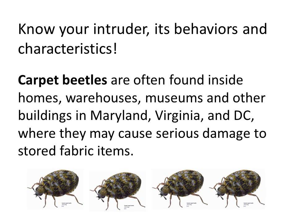 How To Get Rid Of Carpet Beetle Larvae Naturally