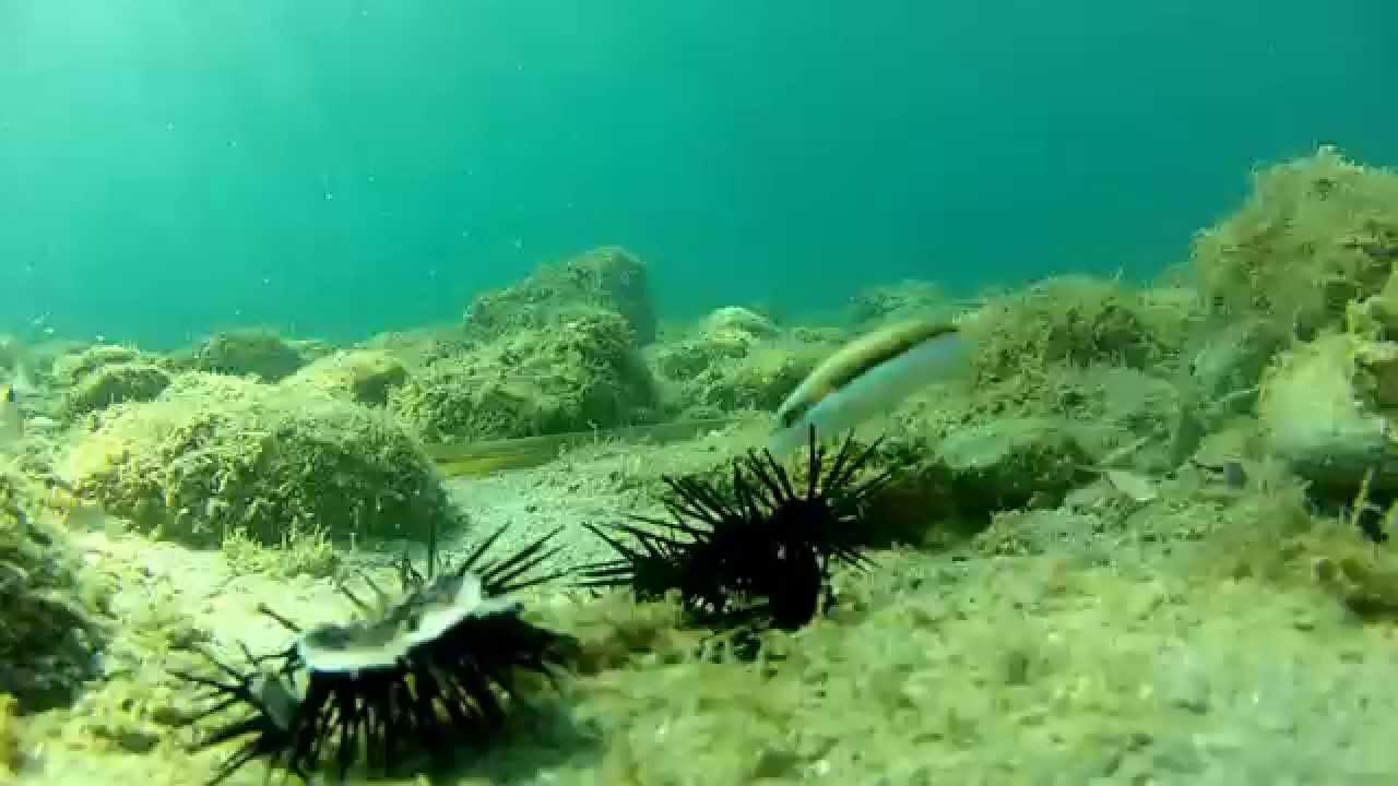 Fish Eating Sea Urchin Poisson Qui Mange Un Oursin Youtube