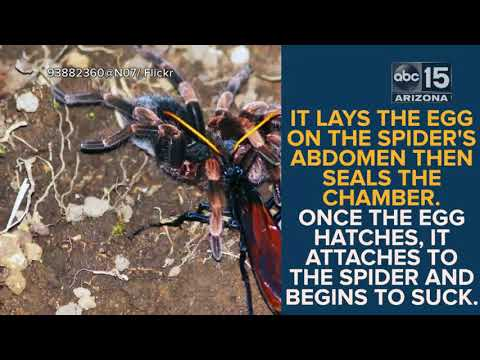Ouch 10 Things You Need To Know About The Tarantula Hawk Wasp Abc15 Digital