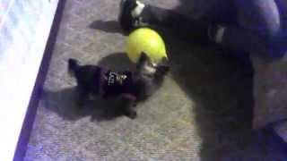 Yorkshire Terrier Shaking Balloon!