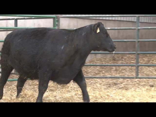Schiefelbein Angus Farms Lot 415