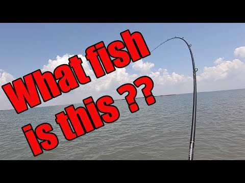 Fighting Huge Unstoppable Fish Wading Galveston Bay... What Is It?