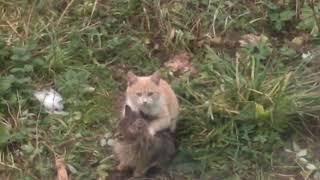 Котёнок делает массаж (угар)