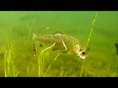 Bright Vs Dark:  Hungry Trout Attack Fishing Lures In Crystal Clear Water, Underwater Experiment.
