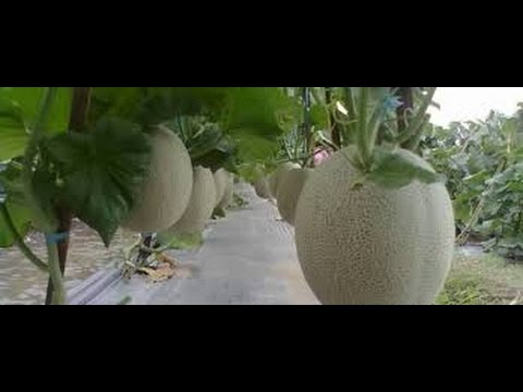 budidaya-melon---panduan-pemupukan-budidaya-melon-dengan-teknologi-nasa-organik