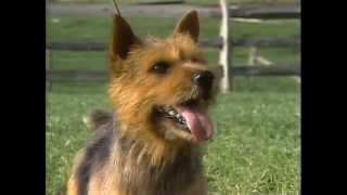 Norfolk Terrier  AKC Dog Breed Series