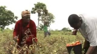 Tomato Farming in Kpetoe, Ghana