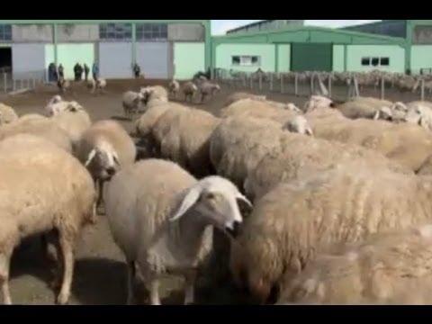 Hayvancılık - Küçükbaş Hayvancılık - Koyun Yetiştiriciliği 2. Bölüm
