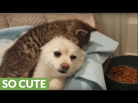 Rescue kitten loves to play tug-of-war with patient puppy's ears