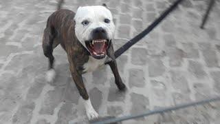 #Pitbull Attack. Aggresive Pitbull Terrier (Tiger)