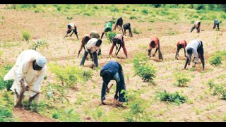 10,000 Rice farmers benefit from CBN soft loan in Kano state