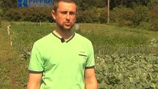 Зелёный участок   Брюссельская капуста