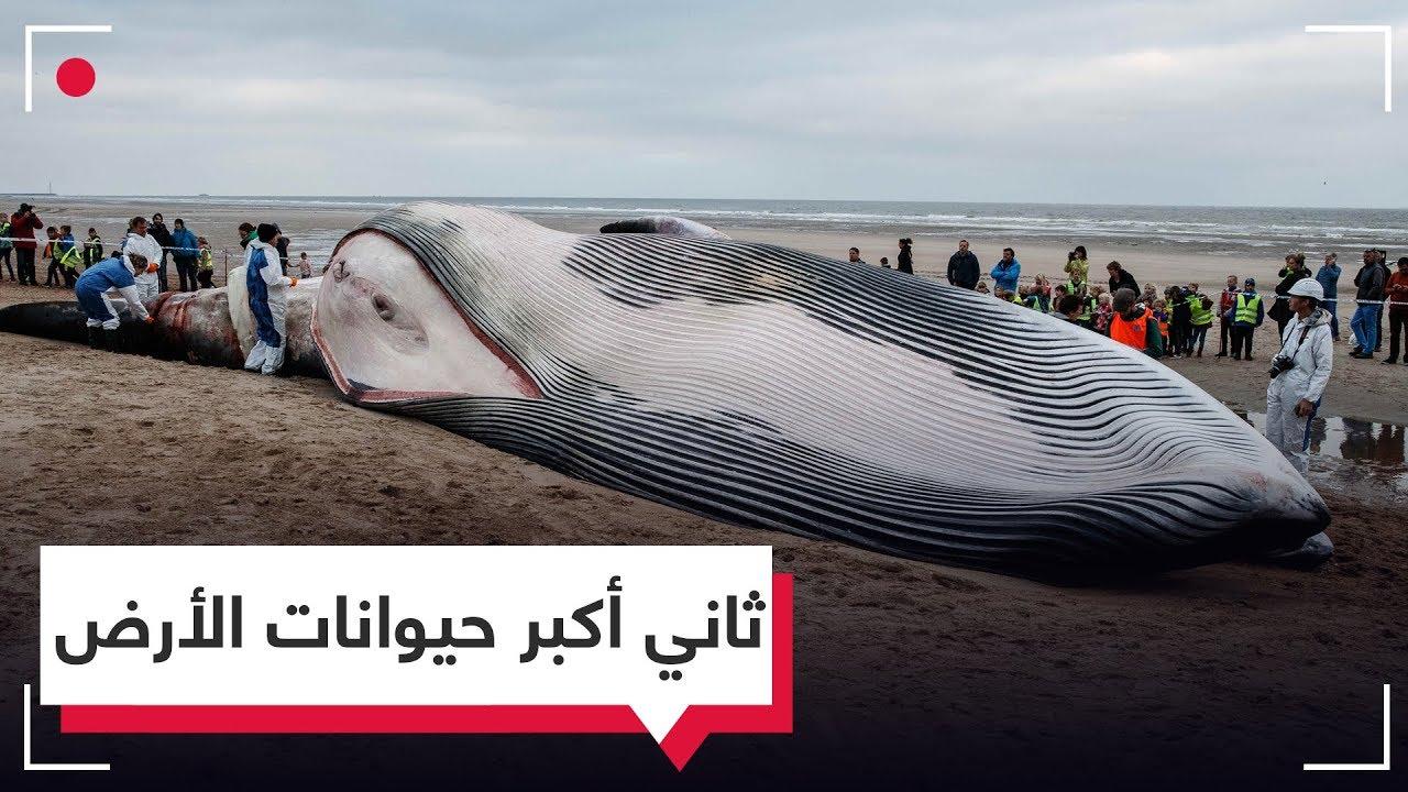 بالفيديو.. لقطات نادرة لتشريح جثة ثاني أكبر حيوان على سطح الأرض