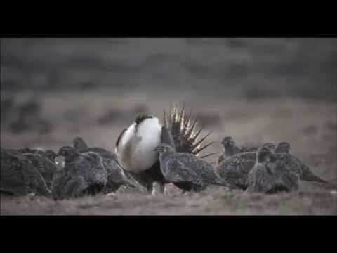 Saving the Sage Grouse Means Saving the West