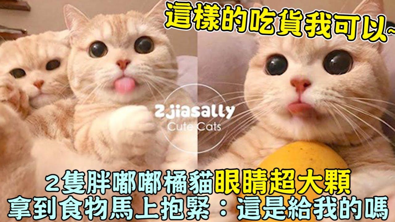 這樣的吃貨我可以!2隻胖嘟嘟橘貓「眼睛超大顆」拿到食物馬上抱緊:這是給我的嗎