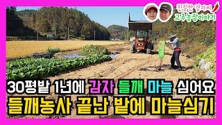들깨농사 끝난 밭에 마늘심기! 30평밭에  감자 들깨 …