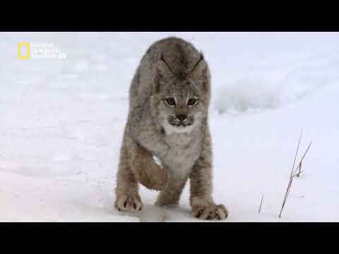 خاص: عطلة نهاية الأسبوع - القطط الكبيرة | ناشونال جيوغرافيك أبوظبي
