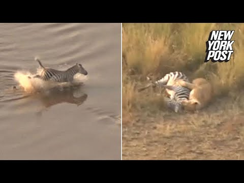 Zebra escapes a crocodile, only to be ambushed by lions | New York Post