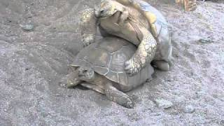 Черепахи занимаются любовью