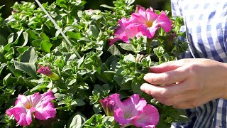 Surfinie Jak Sadzic I Ciekawe Odmiany Kwiaty Na Balkon I Taras Youtube
