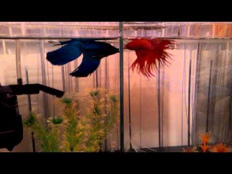 Бойцовые  рыбки