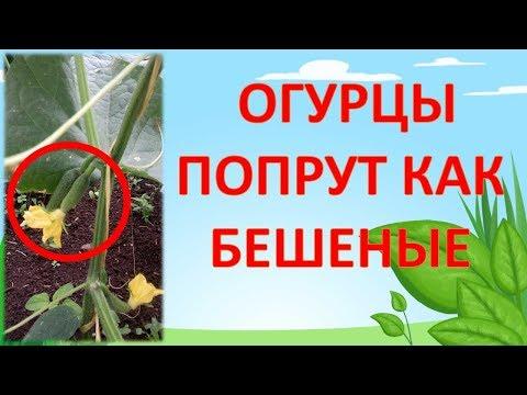 НЕ ПОДКАРМЛИВАЙТЕ ОГУРЦЫ ПОКА НЕ ПОСМОТРИТЕ ЭТО ВИДЕО!!! Как выращивать огурцы