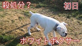 【関連動画】 なぜ殺処分?ボクサー来ました Dog Rescue A&R https://yo...