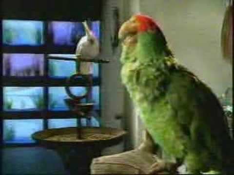 Talking Parrot -Bud
