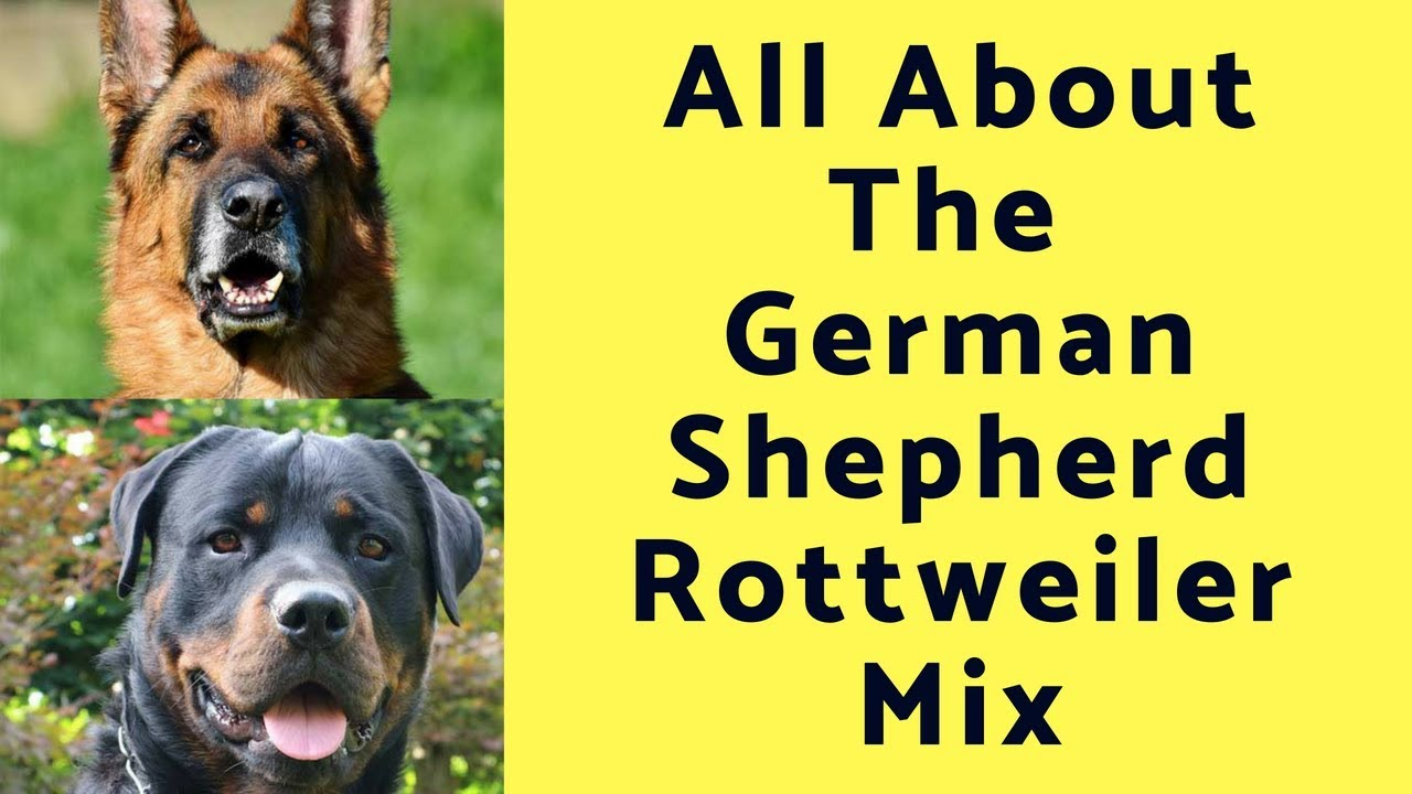 All About The German Shepherd Rottweiler Mix The Shepweiler Youtube
