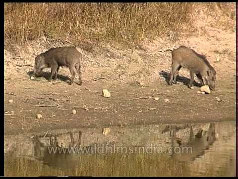 Wild boars at a water-hole
